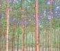 安徽達軒農林低價出售1-4公分刺槐,物美價廉