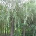亳州達軒農林大量出售美國竹柳1-6公分截干苗竹柳段