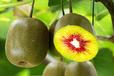 桂林紅心獼猴桃苗價格