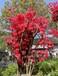 湘西紫色映山紅種子