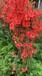 常德种映山红繁殖