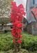 株洲種植映山紅盆栽,山石榴