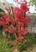 长沙种植映山红扦插,杜鹃花
