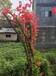 张家界种植映山红种苗