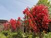 北京種植映山紅樹苗,杜鵑花