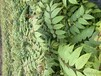 天津香椿苗價錢,香椿芽