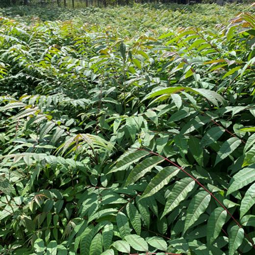 南京香椿苗,香鈴子