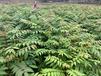 內蒙古香椿苗產地,香椿芽