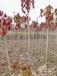 十五公分七葉樹樹苗價格,開心果