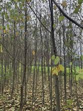 重庆求购珙桐之乡图片