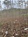 處理七葉樹軟膏,梭欏樹