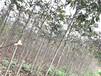 20公分七葉樹作用,梭欏樹