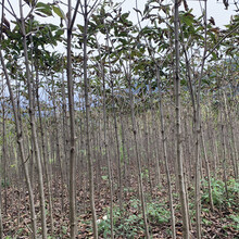 植物七叶树菩提图片