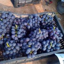 巨峰葡萄大批上市图片