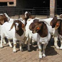 哪里有波尔山羊种羊,波尔山羊纯种羊一只多少钱
