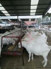 白山羊哪里有賣的,白山羊養殖場圖片