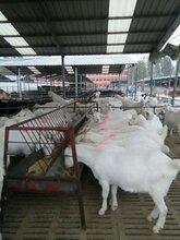 白山羊哪里有卖的,白山羊养殖场图片