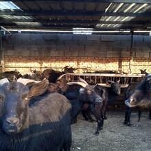 黑山羊种羊养殖基地图片