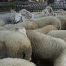 山東小尾寒羊養殖場,小尾寒羊現在多少錢一只圖片
