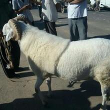哪里有小尾寒羊養殖場,小尾寒羊種羊價格圖片