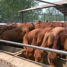 湖南夏洛莱牛养殖场夏洛莱牛价格多少钱哪里有卖的图片