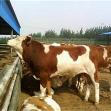西门塔尔牛牛犊价格哪里有卖西门塔尔牛养殖场牛犊价格
