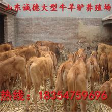 湖南哪里有卖优质改良牛犊的养殖场牛犊价格多少钱一头