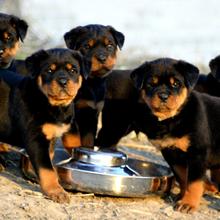 罗威纳犬幼犬养殖场罗威纳犬哪里有卖的商家