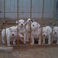 杜高犬养殖场哪里有优质杜高犬价格杜高犬价钱图片