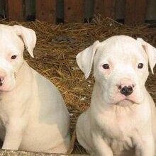 牧羊犬价格哪里有供应牧羊犬的养殖场山东济宁牧羊犬价格图片
