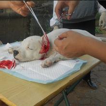 河南哪里有卖杜高犬幼犬的基地杜高犬价格