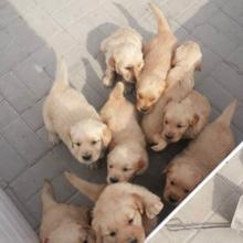 金毛犬湖北金毛犬价格金毛犬养殖场/供应金毛犬图片