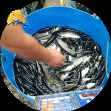 河北行唐成活率高草鱼苗提供技术,皖鱼苗图片