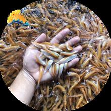 河北靈壽好養殖草魚苗鮮活運輸,油鯇魚苗圖片