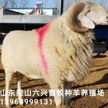 小尾寒羊价格行情母羊和湖羊哪个好多少钱一只图片