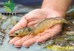 偉民農業南美對蝦蝦苗選種