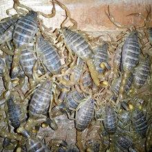 安徽蚌埠土元养殖,蚌埠蝎子养殖,蚌埠蜈蚣养殖2021图片
