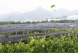 郴州紅美人柑橘苗采購