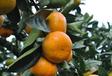 常德正宗由良柑橘苗供應