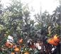 怒江正宗由良柑橘苗厂家