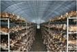溫室大棚種植金針菇的增產方法