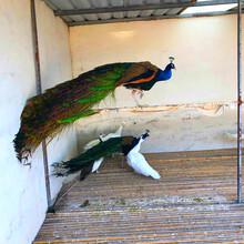观赏孔雀多少钱一只孔雀养殖基地孔雀活体图片