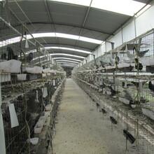 崇明生態肉鴿圖片