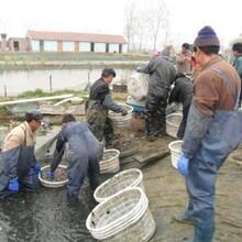 泥鰍養殖以蟲治蟲養泥鰍,返鄉創業,年銷近400萬圖片