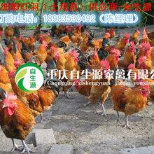 眉山土鸡苗供应,土鸡苗市场