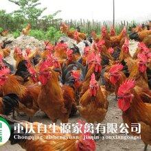 万州土鸡市场万州土鸡行情全国土鸡苗批发土鸡养殖技术