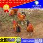 达州土鸡&达县小媳妇养土鸡脱贫:没有钱咱就挣,等是等不来的图片