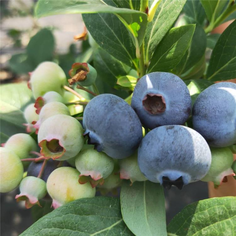 黄浦莱克西蓝莓苗 抗寒蓝莓苗 爱科厂家