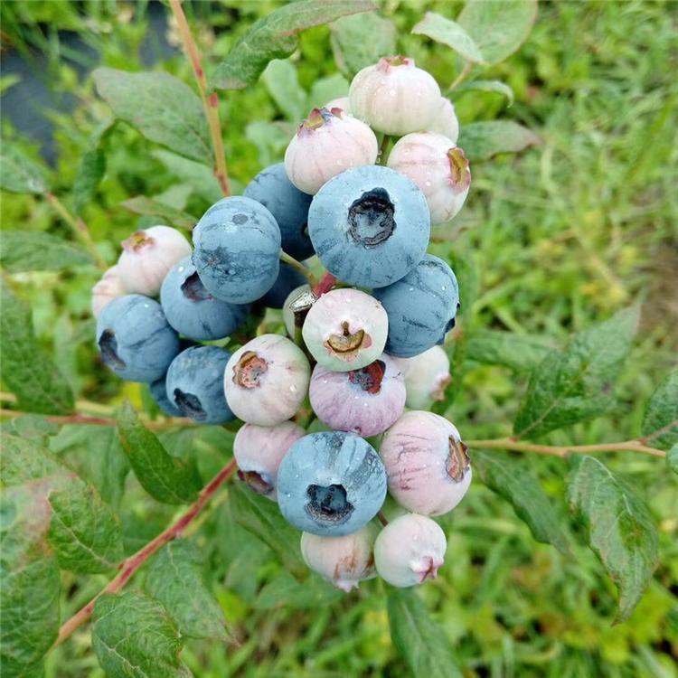 兰州钱德勒蓝莓苗 莱格西蓝莓苗 爱科批发