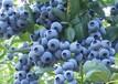 藍豐藍莓苗愛科武隆藍豐藍莓苗多少錢
